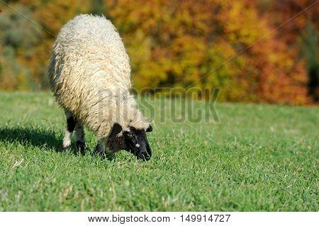 Flock white sheep on the autumn field