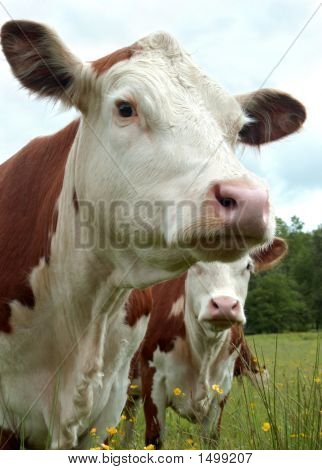 poster of This bovine appears ready for a mug shot and this photographer happily complied.