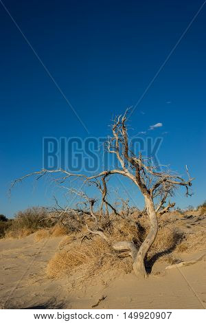 Twisted Tree In Desert Sand