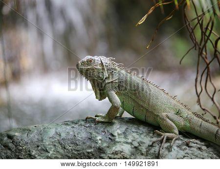 Big Iguana With Scaly Skin Near Tropical Waterfall