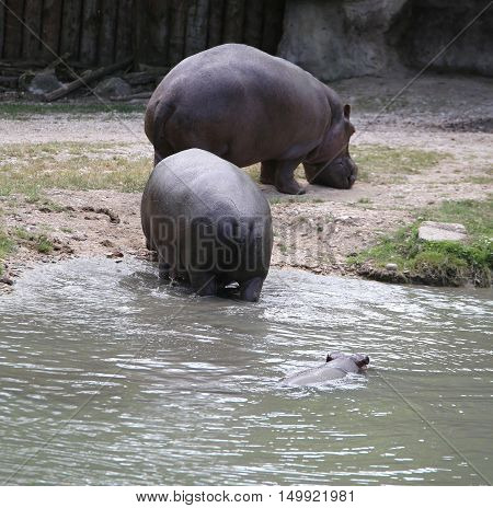 Extra Heavy Hippos And A Hippo Swimming In The Water