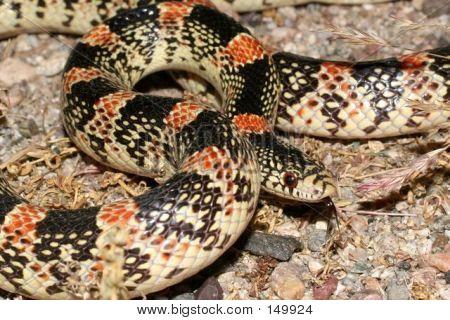 Longnose Snake