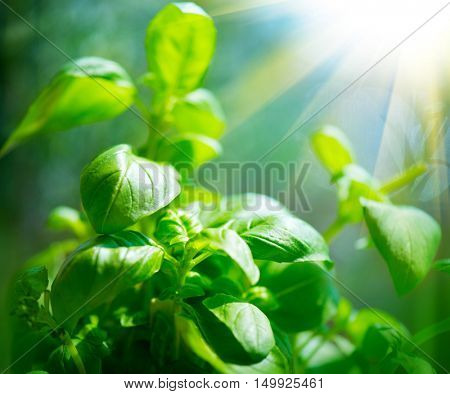 Fresh basil leaves. Green flavoring outdoor. Close up of  Basil growing in garden. Nature healthy Basil over Blurred Background with Sunbeams. Condiment concept poster