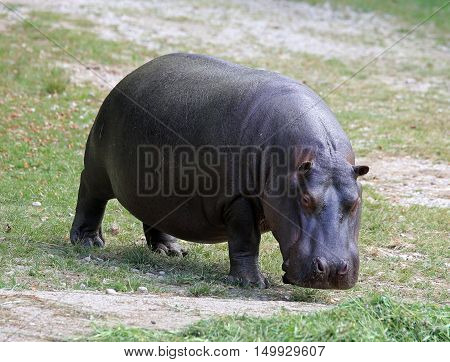 Heavy Hippo With Shiny Skin And Small Ears