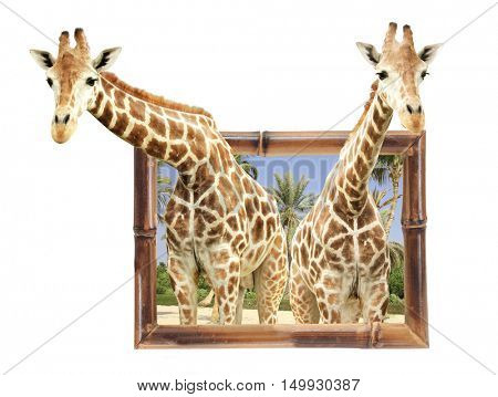 Two giraffes in bamboo frame with 3d effect. Isolated on white background