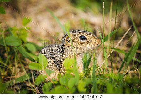 Thirteen-lined Ground Squirrel (ictidomys Tridecemlineatus)