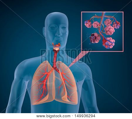 Anatomy of human respiratory system - blood saturating by oxygen