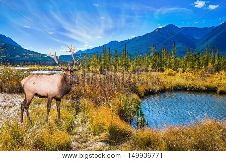 The concept of eco-tourism. The big deer with branchy horns is grazed on bank of the lake. Indian summer in the Rocky Mountains of Canada