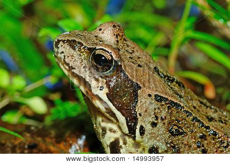 A Frog In Green Grass,