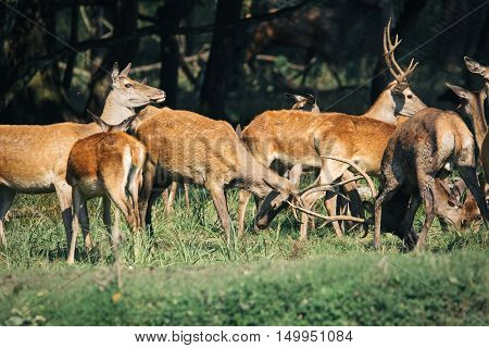 Red deer in mating season beautiful picture