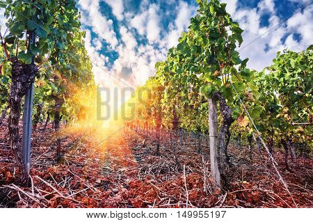 Landscape with autumn vineyards and organic grape on vine branches at spectacular sunset. Wine making concept