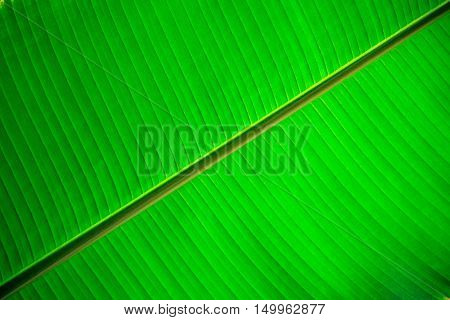 Closeup banana leaf texture for background. Pattern