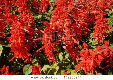 Salvia splendens scarlet flowers and leaves on a sunny day.