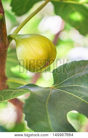 Closeup of green fig and leaf on fig tree. Copy space