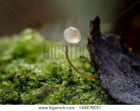 Single Mycena species mushroom growing from a log