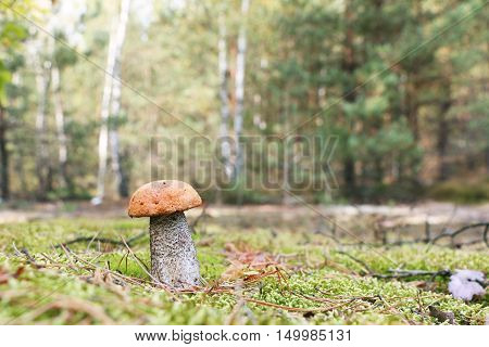 The Leccinum growing in forest orange-cap mushroom grow in the green moss birch wood close-up photo