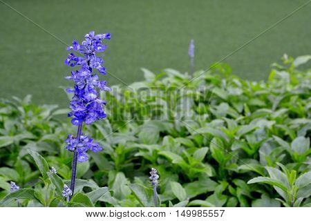 Blue Salvia (salvia farinacea) flowers blooming in the garden