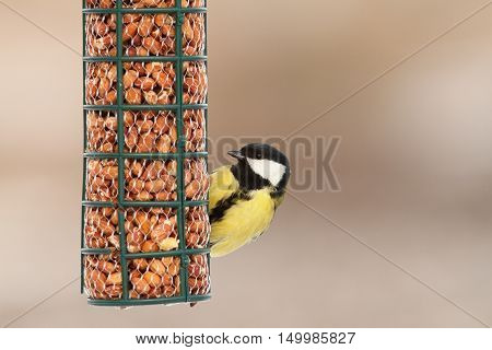 hungry great tit on garden bird feeder full of peanuts ( Parus major )