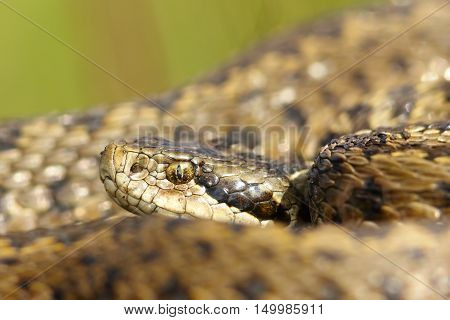 portrait of rarest european snake the hungarian meadow viper ( Vipera ursinii rakosiensis )