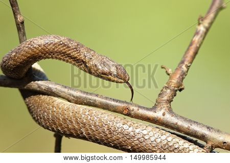 smooth snake closeup on branch over green out of focus background ( Coronella austriaca )