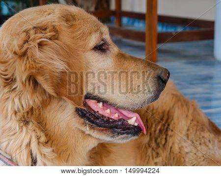 Close up of Golden Retriever dog face