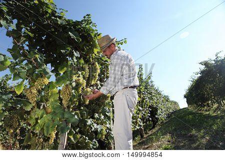 Grapes harvest Wine maker in vineyard, autumn season