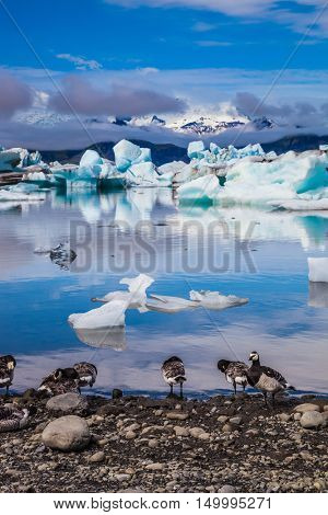 Magnificent summer morning in an ocean Ice lagoon with floating ice floes. On a coastal edge flock of birds - brents of Branta leucopsis. Summer in Iceland