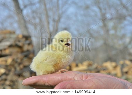 A close up of the very small chicken on hand.