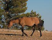 Wild Horse Dun Stallion on Tillett Ridge above Teacup Bowl in the Pryor Mountains in Montana - Wyoming USA poster