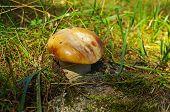 Penny bun (boletus edulis) sunlit. Altai Mountains Russia. poster