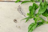 Basil background. Large green aromatic Mediterranean basil leaves on white wooden background with place for text. Bunch fresh basil on a wooden background. Aromatic spice. Copy space. poster