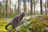 Scottish fold grey cat in a pine forest, climbed a large granite stone covered with green and gray moss, alarmed, frightened look poster