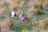 Ritual mating Dance Lek of the Sharp Tailed Grouse Alberta Canada poster