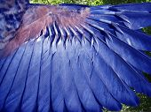 wing of bluebird in flight.  macro shot with incredible detail. poster