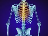 Human skeleton and spine. Xray view. Medically accurate 3D illustration poster