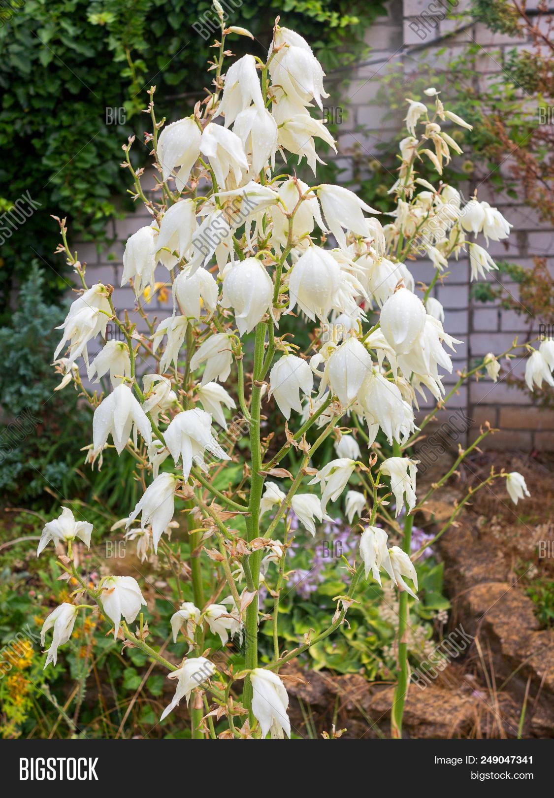 White flowers yucca image photo free trial bigstock white flowers of yucca plant mightylinksfo