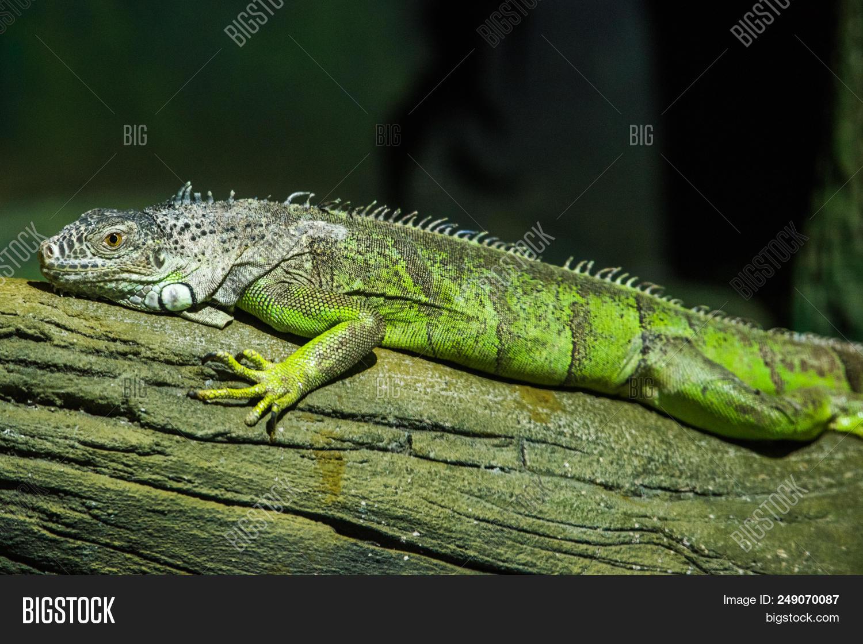 Green Iguana On Branch Wild Nature Wallpaper