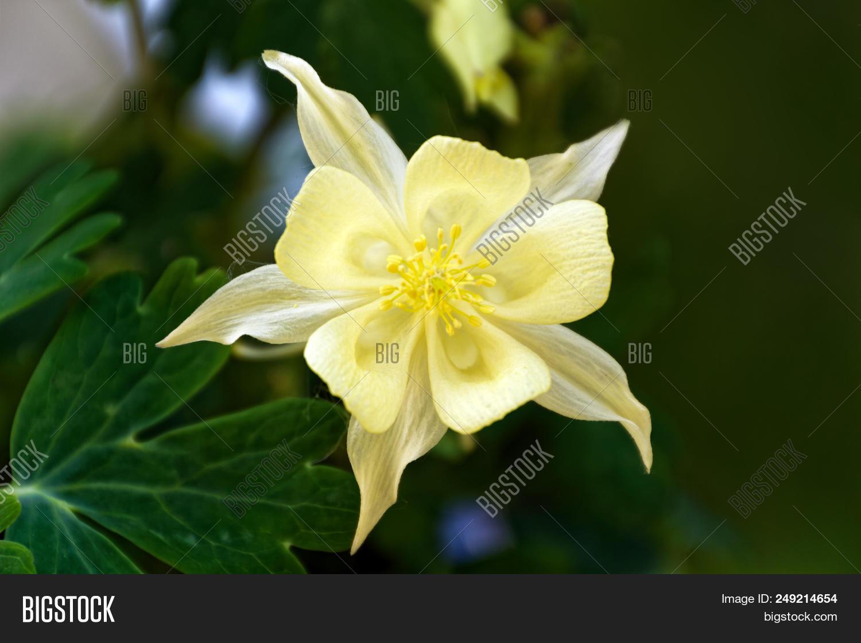 Columbine Flower Image Photo Free Trial Bigstock