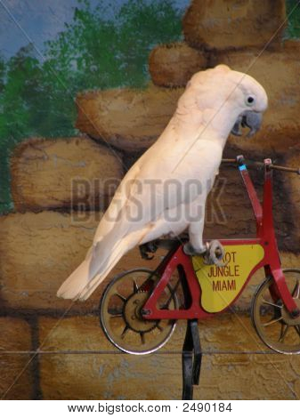Beautiful White Tropical Parrot On A Bicycle poster
