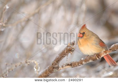 A warmly colored female cardinal sits on an icy perch on a cold winter day. poster