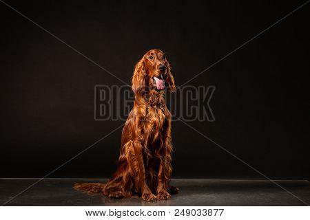 Portrait Of Red Irish Setter Panting On Black Background .studio Shot
