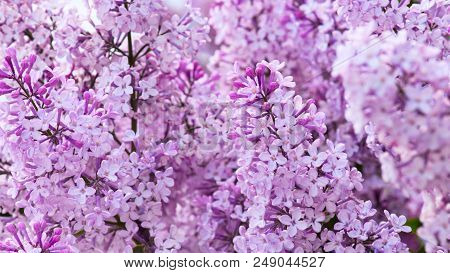 Flowering Tender Lilac In The Soft Morning Light, Nature Background