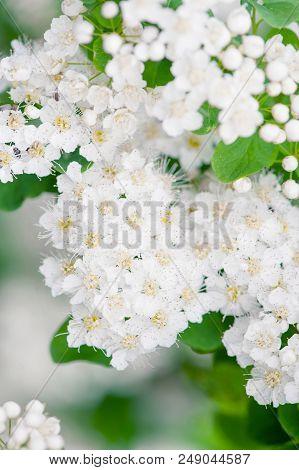 Flowering Tender Spirea In The Soft Morning Light, Nature Background