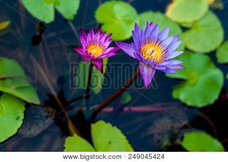 Lotus Flower In Pond.lotus Flower In Pond.