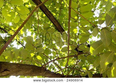 Tree Canopy From Below