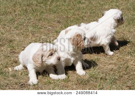 Cuteness overload with adorable four weeks old Cavalier King Charles Spaniel and Cocker Spaniel blen