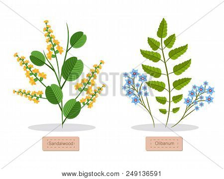 Sandalwood And Olibanum Poster With Headlines And Flowers, Green Leaves, Sandalwood Herb Collection