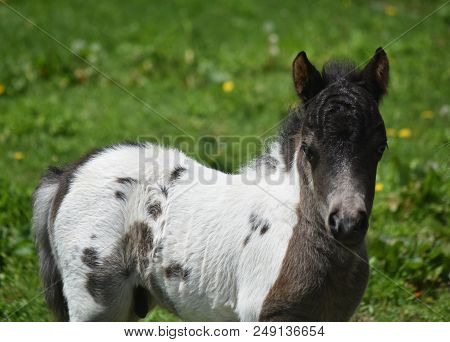 Spring With An Adorable White And Black Paint Miniature Horse Foal.