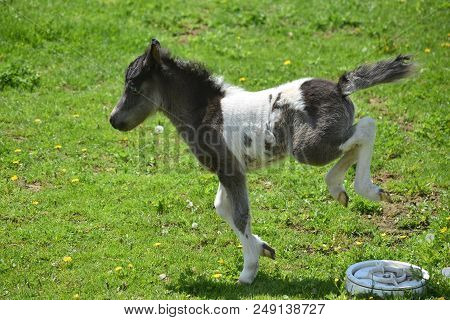 Beautiful Kicking And Bucking  Miniature Horse Foal On A Spring Day.