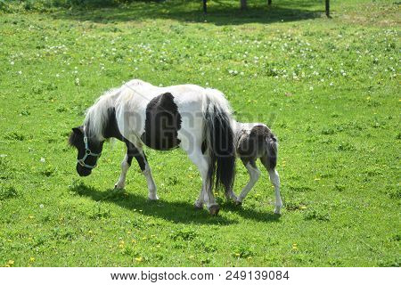 Grass Field With A Black And White Miniature Mare And Her Foal.